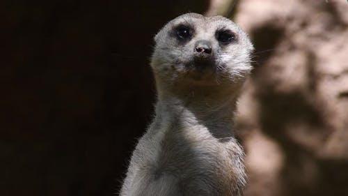 Meerkat Suricate Looking