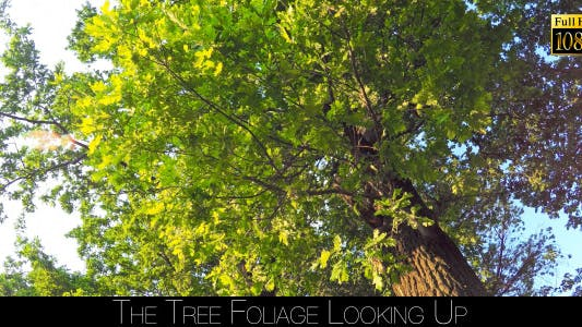 Thumbnail for The Tree Foliage Looking Up 5