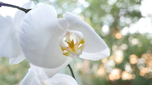Flowers Of White Orchid In The Window