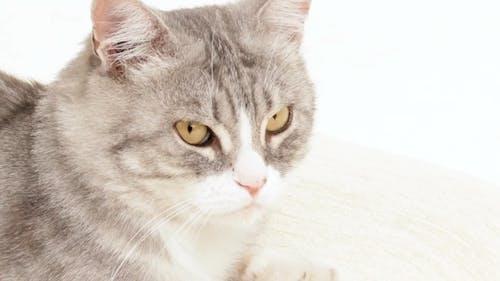 Gray Cat Stares Around