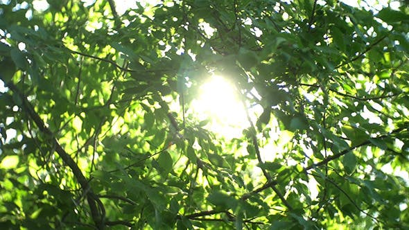 Thumbnail for Green Leaves And Sun