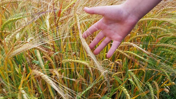 Cover Image for Children Hand Running Through Wheat