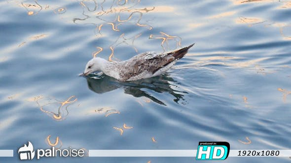 Thumbnail for Bird Seagull Swimming in Water