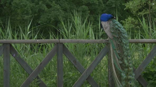 Thumbnail for Common Peafowl,Bird,Blue Peacock With Long Tail