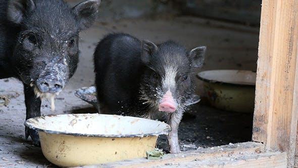 Thumbnail for Vietnam Black Little Pig Eating