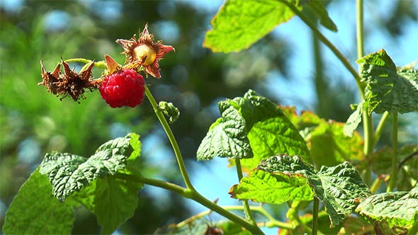 Thumbnail for Raspberry Hangs on the Branch