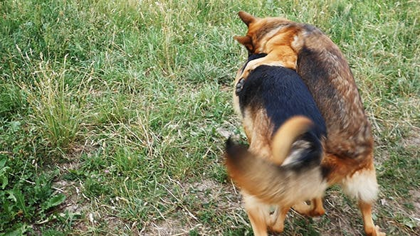 Thumbnail for Two German Shepherd In The Yard