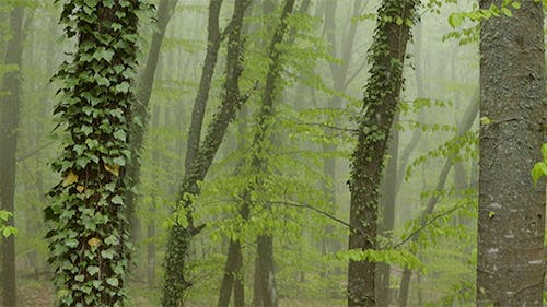 Strong Fog in the Beech Forest.