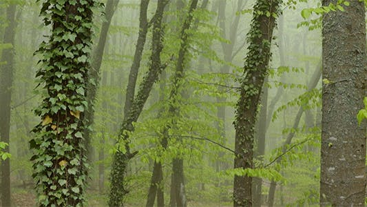 Thumbnail for Strong Fog in the Beech Forest.