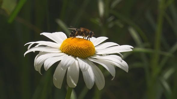 Thumbnail for A Fly Crawls on the Center of a Daisy and then Fl