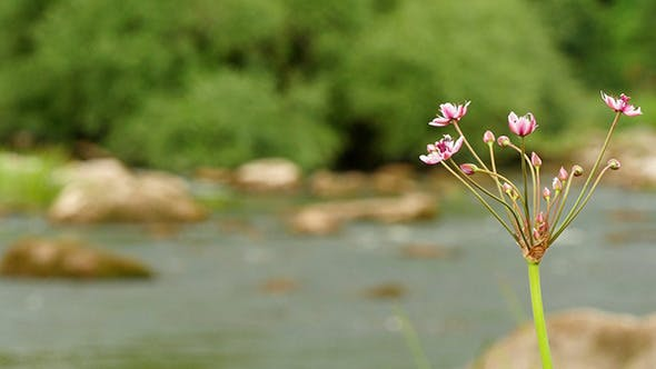 Thumbnail for Butomus Umbellatus Flowers In Summer Day