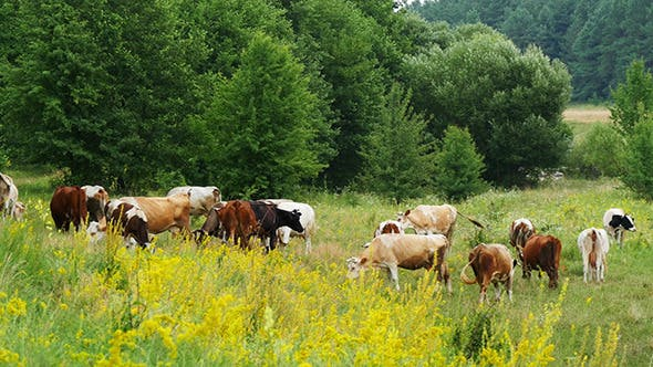 Thumbnail for Cows Grazing On Green Summer Meadow