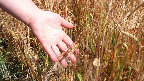 Thumbnail for Woman's Hand Running Through Wheat