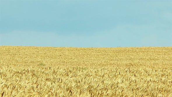 Thumbnail for Yellow Wheat Field and Blue Sky
