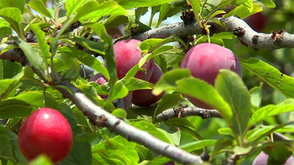 Thumbnail for Ripe Plums on a Branch Among Leaves