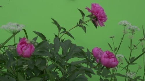 Wavering Flowers, Peonies And Milfoils, Brignt