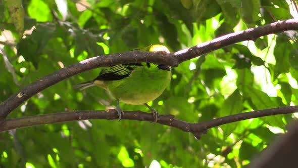 Songbird Adult Lone Perched Flying in Costa Rica Central America