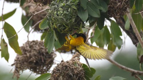 Close up from a male weaver bird
