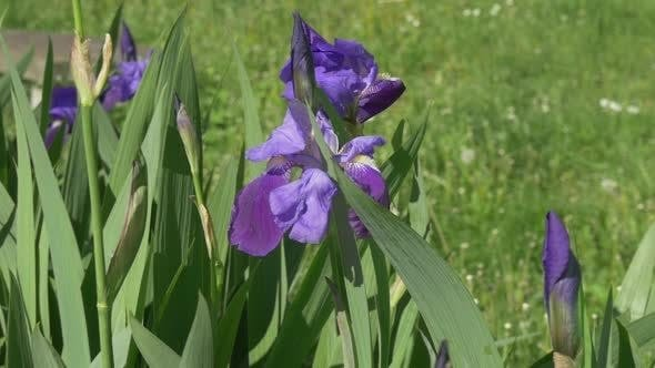 Cover Image for Violet Irises on Meadow, Swaying