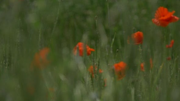 Red Poppies, Papaver, Flowers, Blossoms Through