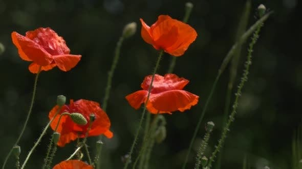 Red Poppies, Papaver, Flowers And Offshots