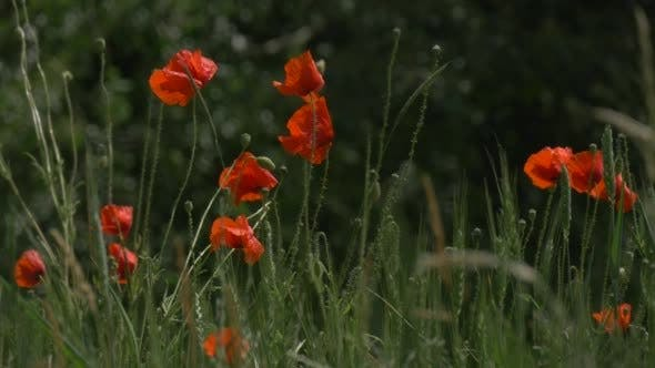 Thumbnail for Red Poppies, Papaver, Flowers Field