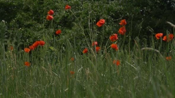 Thumbnail for Red Poppies, Papaver, Flowers, Field, Trees,