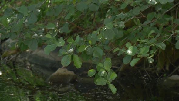 Thumbnail for Swaying Baum Zweige auf dem Teich