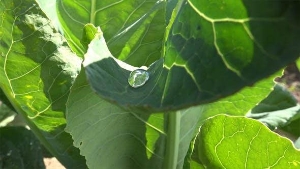 Dew Drops on a Leaf 2
