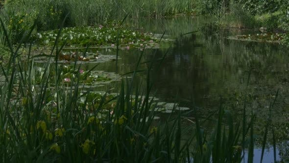 Thumbnail for Pond Surface with Water Lilies and Yellow Flowers