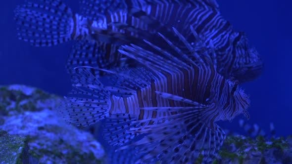 Thumbnail for Two Red Lionfish, Pterois Volitans, Striped Coral