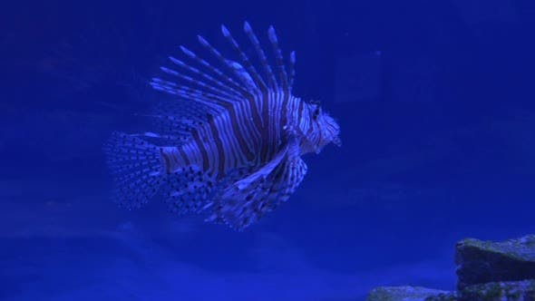 Thumbnail for Red Lionfish, Pterois Volitans, Single Striped
