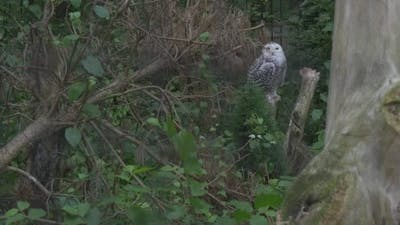 Snowy Owl, White Owl is Sitting, Distantly