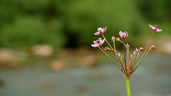 Thumbnail for Butomus Umbellatus Flowers In Summer Day Slow Mo