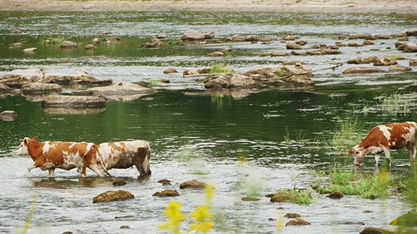Thumbnail for Cows Drinking In The Water Of River
