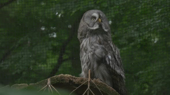 Thumbnail for Great Grey Owl is Turning Head, Cage Grate