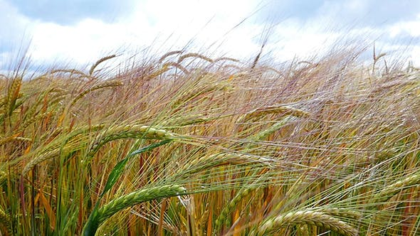 Thumbnail for Spikelets Of Wheat In The Sunlight