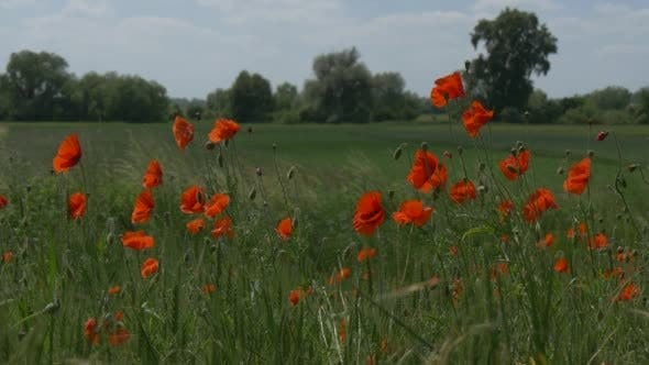 Cover Image for Red Poppies' Field, Papaver, Flowers, Green Grass