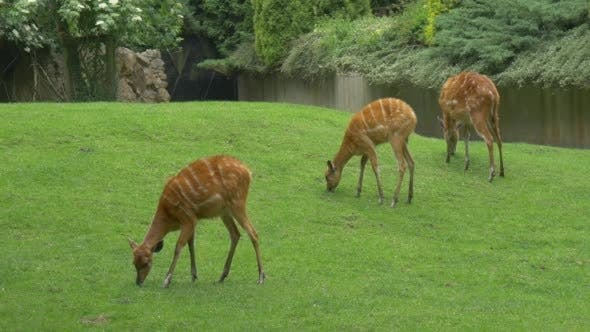 Doe, Three Female Deers Are Grazing