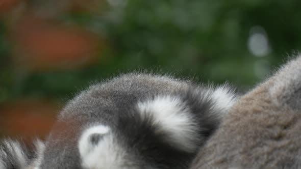 Thumbnail for Embracing Lemurs Sitting, Jump Away, Tails