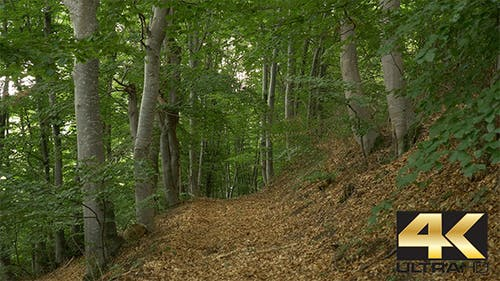 Trail in the Beech Forest