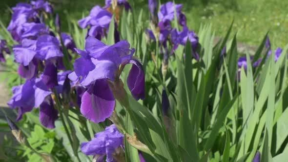 Thumbnail for Violet Irises, Flowerbed on The Meadow, Single