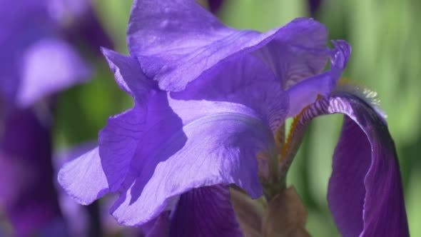 Thumbnail for Violet Irise Closeup, Stalk,Blurred Flowers on
