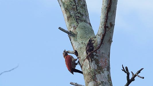Thumbnail for Banded Woodpecker (Picus miniaceus)