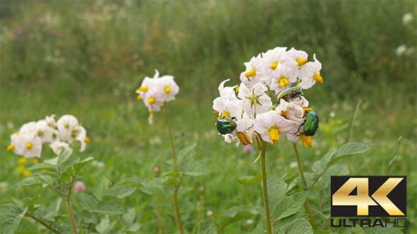 Thumbnail for Beetles on Potato Flower
