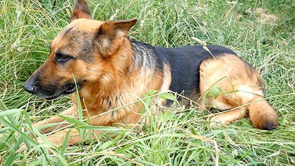 Thumbnail for German Shepherd On The Yard