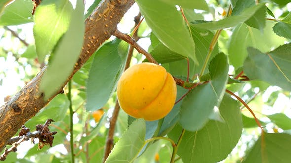 Thumbnail for Ripe Apricots On Tree Branch