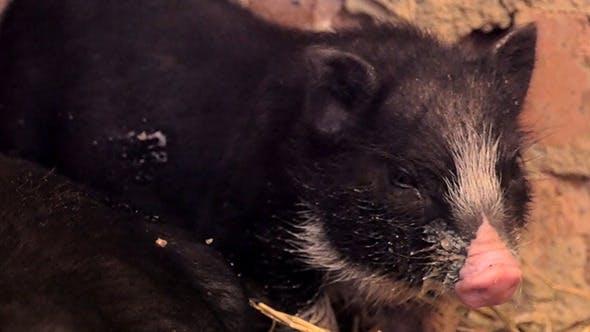 Thumbnail for Vietnam Black Little Pig In The Barn