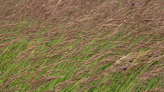 Tall Grass as Background