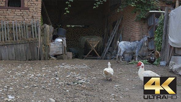 Livestock in Farmer Yard
